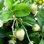 Strawberry_sequoia_1