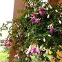 Fuchsia Pink rose (Fuchsia Hybrida)