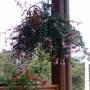 Hanging Fhcsia (Fuchsia Hybrida)