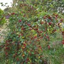 Shrub with large ? Reddish pink berries on.