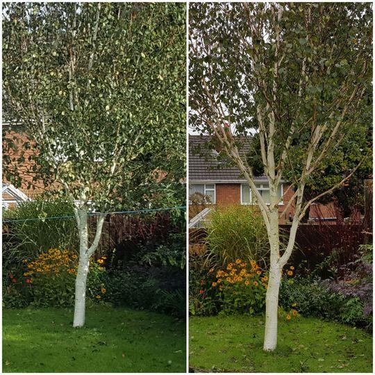 Betula utilis jaquemontii Silver Shadow pruning