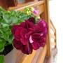 Hanging Geranium  (Pelargonium peltatum (Hanging Geranium))