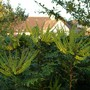 Mahonia media 'Charity' almost in bloom