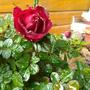 Mini Rose (Rosa chinensis (Angel Rose))