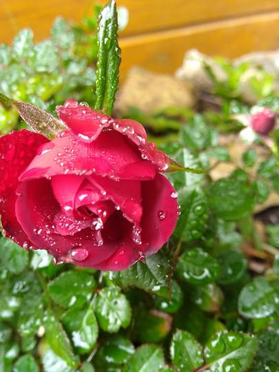 Mini Red Rose - Angel Rose (Rosa chinensis (Angel Rose))