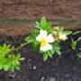 Gymnocarpo Rose (Rosa Gymnocarpa)