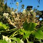 Fatsia flowers...