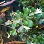Correa backhouseana... (Australian fuchsia Correa.)