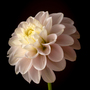 Dahlia_pinnata_in_pink_2_1_of_1_