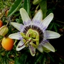 Passiflora   White Lighning