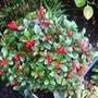 Gaultheria procumbens.