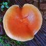Autumnal fungus.