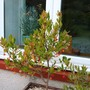 Arbutus unedo - young tree in a planter