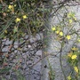 Jasminum nudiflorum (Jasminum nudiflorum (Winter jasmine))