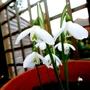 Galanthus_regina_olgae_31.10.19.2