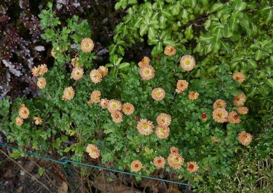 Chrysanthemum 'Bronze Elegance' - 2019 (Chrysanthemum)