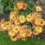 Chrysanthemum_apollo_2019