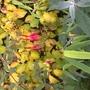 Hardy Fuchsia Magellanica (Fuchsia magellanica (Hardy fuchsia))