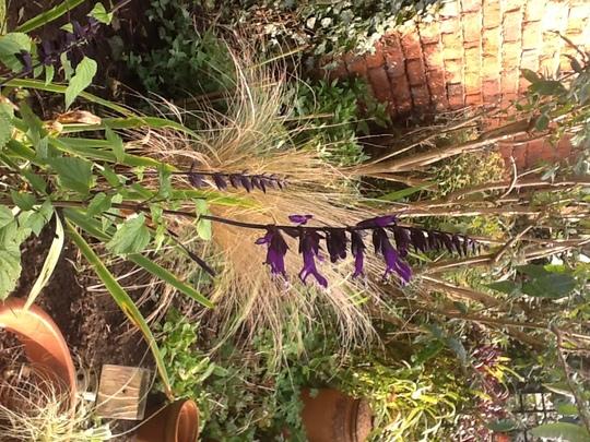 Salvia Amistad (Salvia amistad)