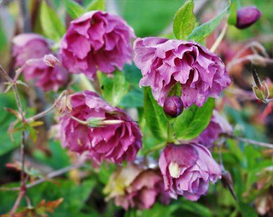 Double Hellebore Flowering