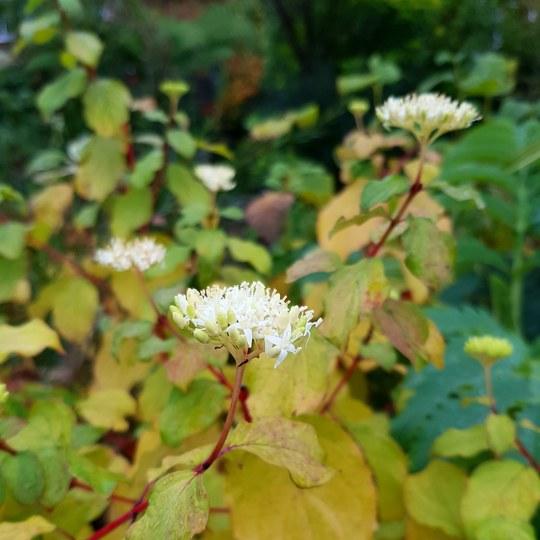 Cornus Midwinter Fire flowers..