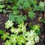 Hardy geranium Lisa...