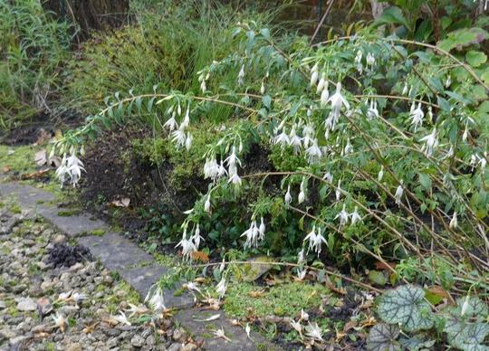 Fuchsia 'Hawkshead' - 2019 (Fuchsia)