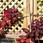 Cotinus on trellis