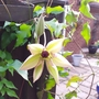 Unusual flowering time  for Clematis 'Fond Memories '