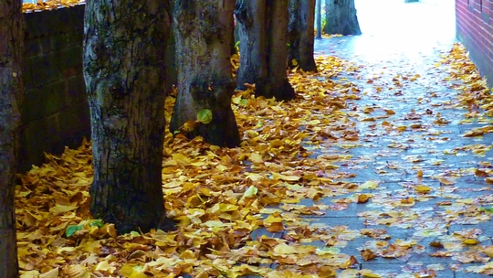 The leaves make a colourful display, but are dropping from the trees quickly.