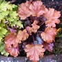 Heuchera    Peach Flambe'