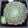 Sempervivum 'Flaming Web'