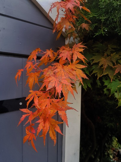 Acer palmatum - my tallest one.