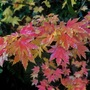 Acer Palmatum. This one has limey yellow coloured leaves in summer.