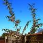 Cotoneaster x watereri