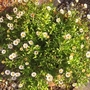 Erigeron just loving this cold weather.