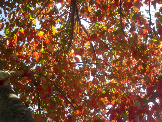 Inside the Red Maple Tree