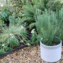 Rosemary in a pot. In the white themed back garden (Rosmarinus officinalis (Rosemary))