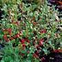 Skimmia 'Red Riding Hood' (Skimmia japonica (Skimmia))
