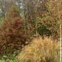 Swamp Cypress & Miscanthus sinensis