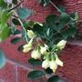 Coronilla valentina subsp. glauca 'Citrina'