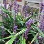Liriope muscari Big Blue (Liriope muscari (Lilyturf))