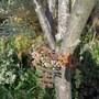 Sorbus cashmiriana berries