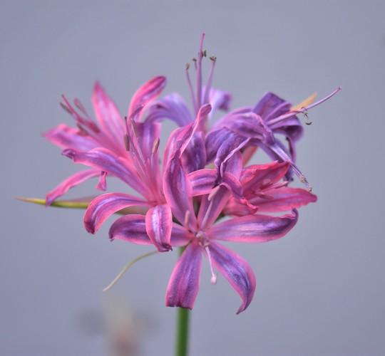 Nerine 'Sveva Pio' (Nerine sarniensis (Guernsey Lily))