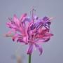 Nerine sarniensis (Guernsey Lily)