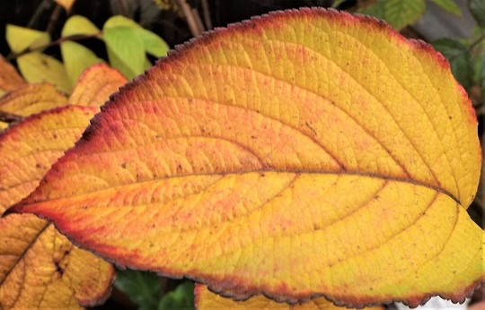Colourful autumn leaf of Weigela