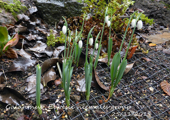 Galanthus. name on picture