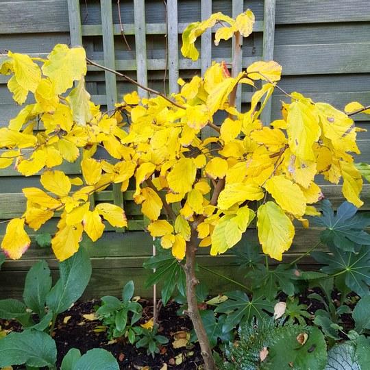Parrotia....persica.. (Parrotia persica (Persian ironwood))