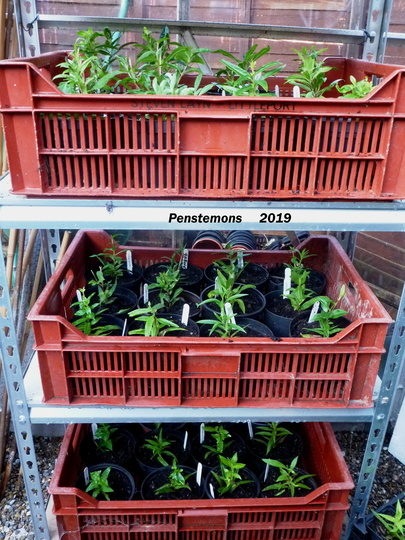 Penstemon cuttings 2019