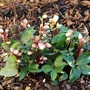 Loads of lovely buds on Helleborus 'Cinnamon Snow'